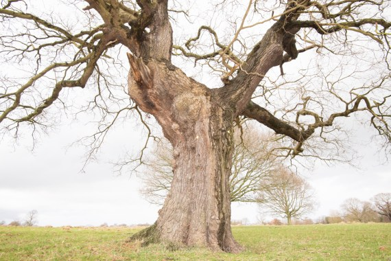 An oak with raised arms