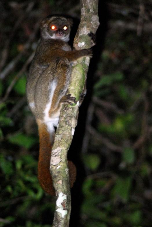 woolly-lemur