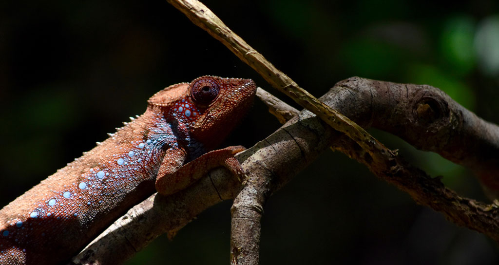 Orange furcifer verrucosus chameleon, with blue warts