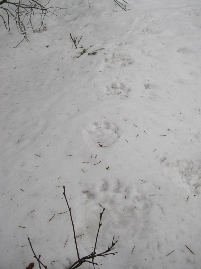 Wolverine tracks | What the Owl Knows