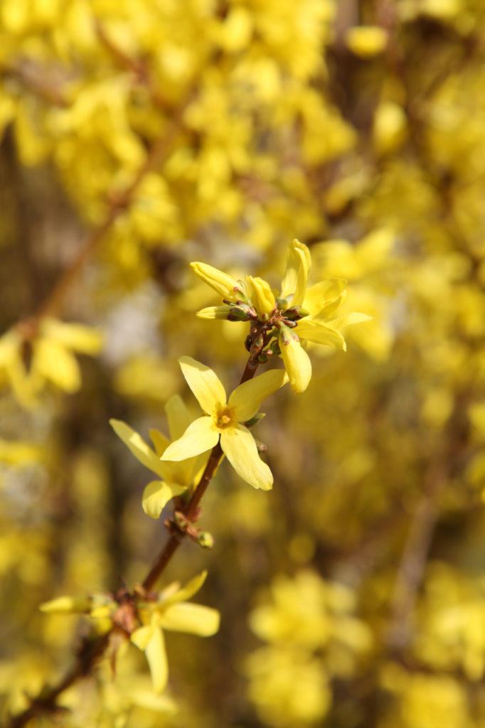 Duft-Reisende – Strahlend gelbe blühende Forsythie in Heppenheim