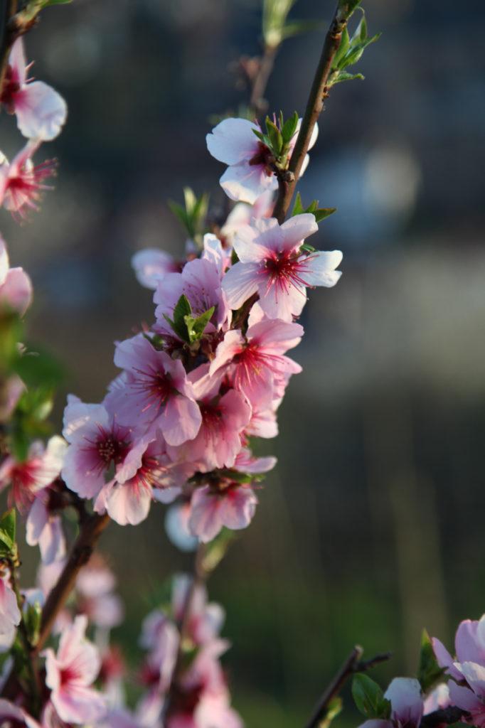 Duft-Reisende – Blütenpracht in Heppenheim
