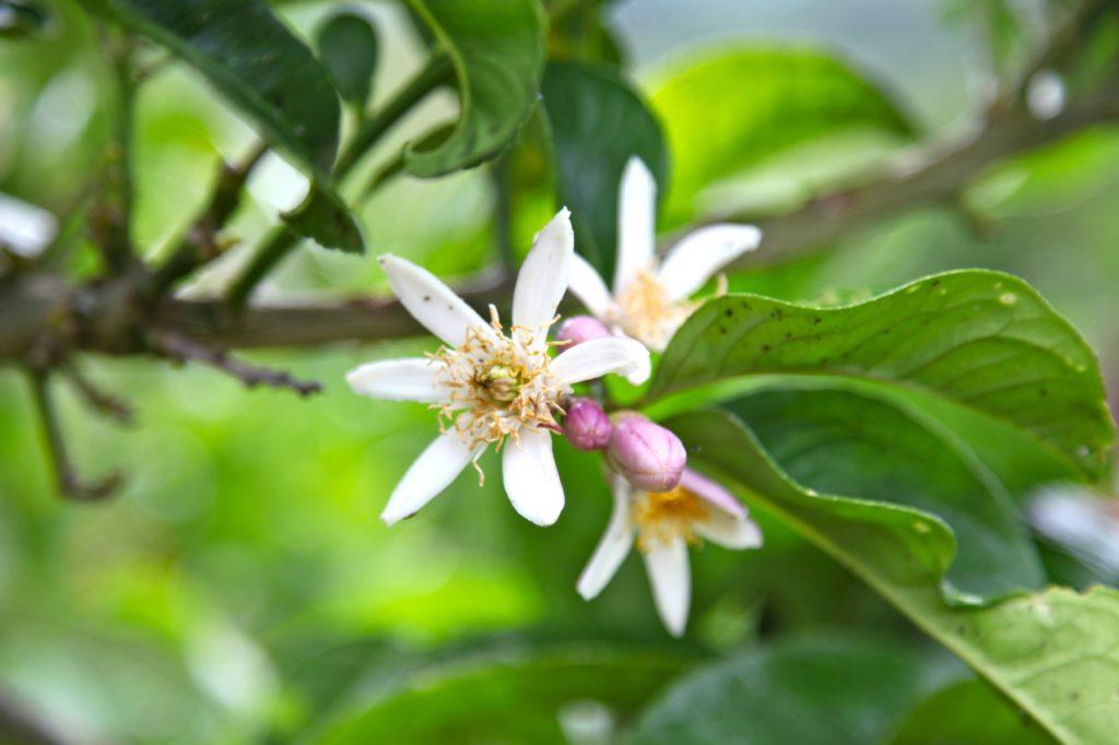 Duft-Reisende – Agrumenblüte