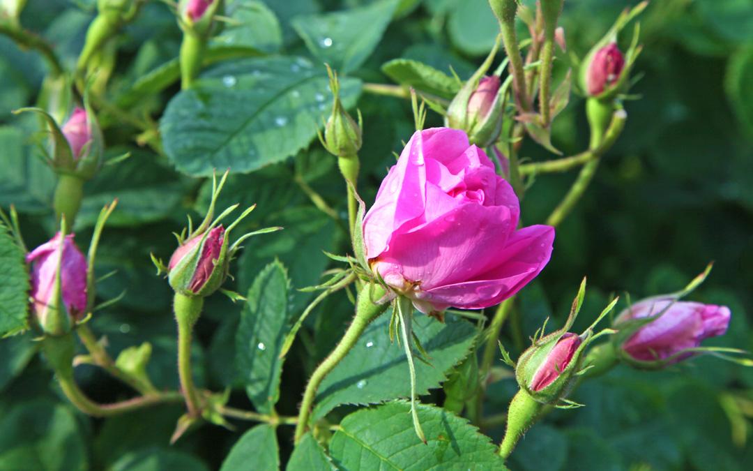 Duft-Reisende – Rosenknospen in Bulgarien im Tal der Rosen bei Kalofer für das kostbare Rosenöl