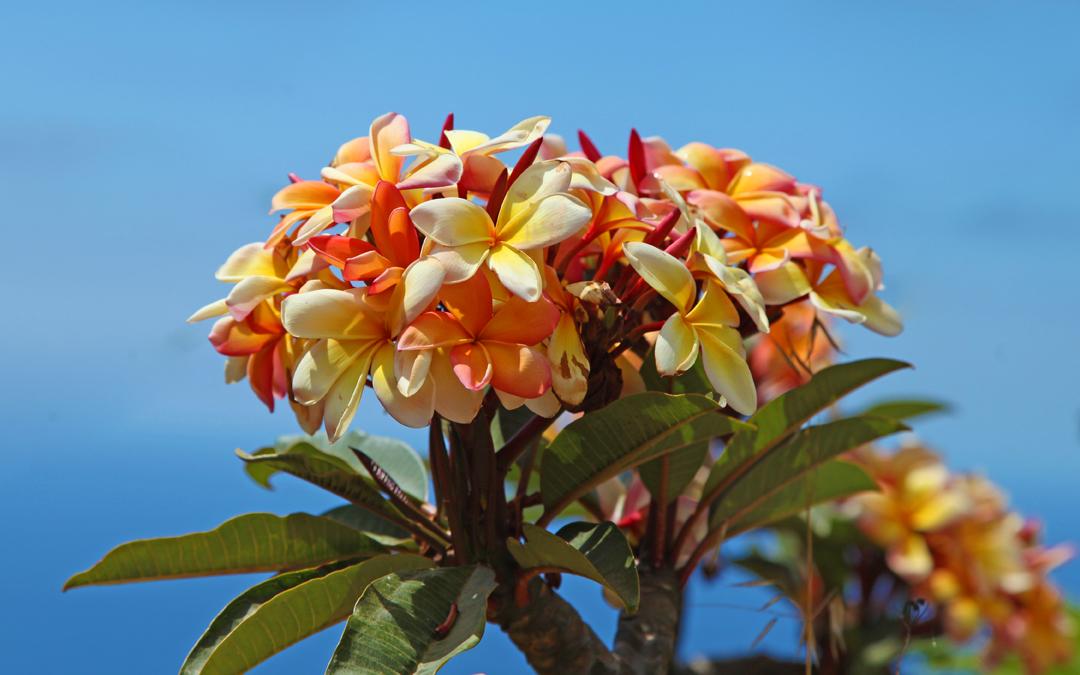 Unser Wegbegleiter mit dem exotischen Duft – Frangipani