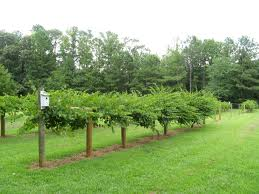 Muscadine Grapevines