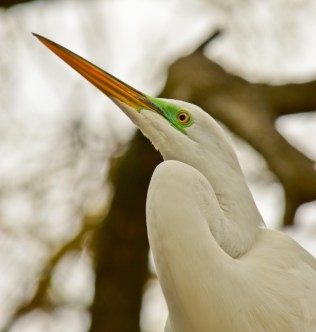 Great white egret, Indian Shore, FL