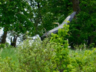 A great blue heron spreads its wings and flies away