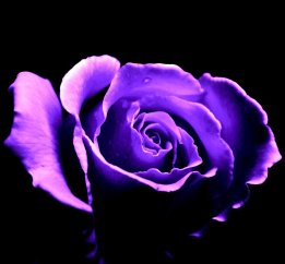 """65 roses"" comes from the story of a little boy with cystic fibrosis who misheard his mom talking about his CF over the phone. She kept saying it over and over, but he heard it as ""65 roses"". Purple is the color of cystic fibrosis awareness. To anyone with CF, a purple rose is more than just a flower, it is a symbol. It symbolizes hope and unrelenting optimism in the face of the thorn bush that is this brutal disease."