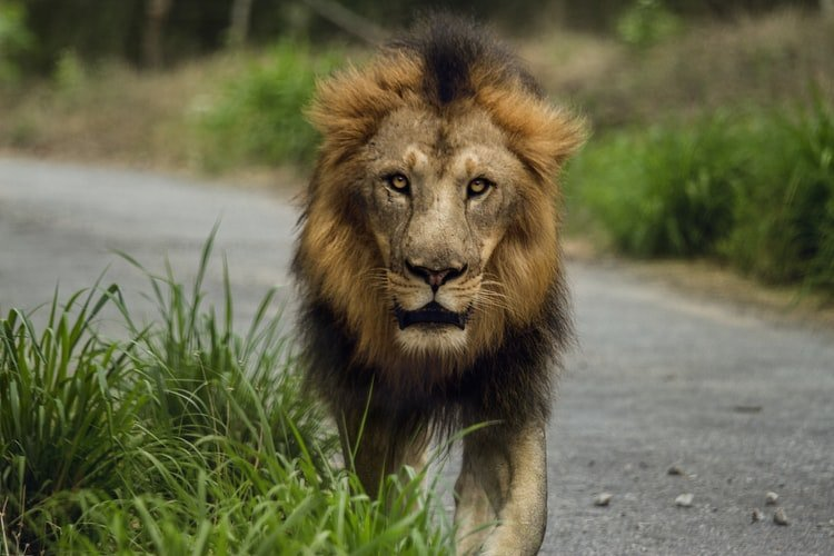 how-to-fulfil-your-potential-lion