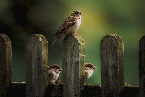 sparrows-on-a-fence