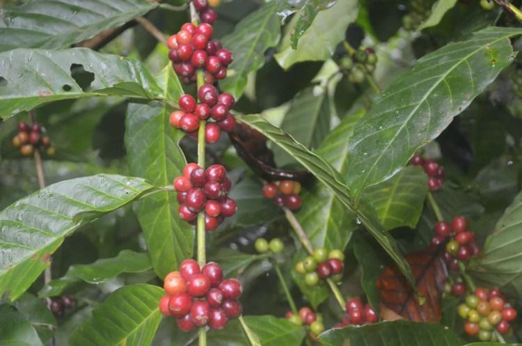 Coffee in Bagong, Sablan