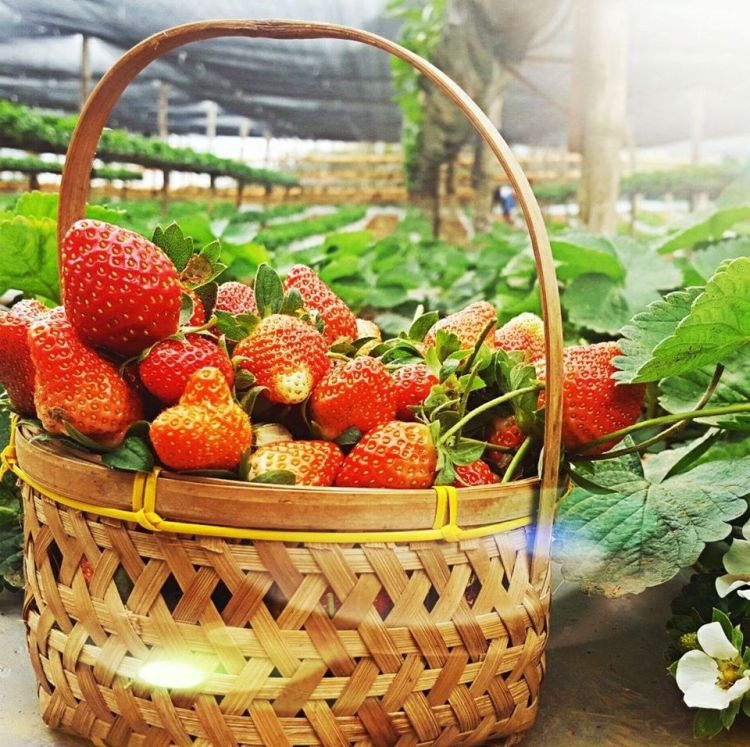 Aningalan Strawberry Garden is one of the best Antique tourist spot