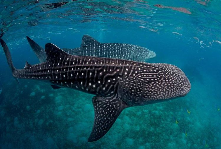 Donsol Whale Shark is one of the best tourist spots/attractions in Sorsogon province