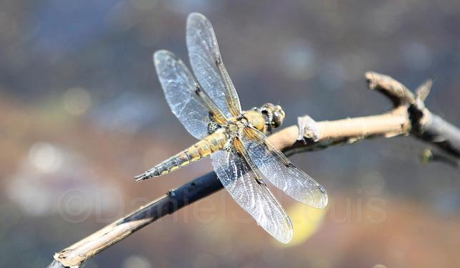 Close-up of dragonfly on branch.