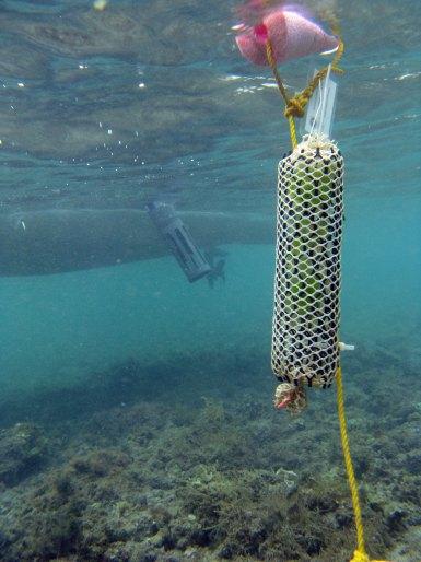 Ulva depolyment in custom algal growth cages at Waiehu study site, Maui
