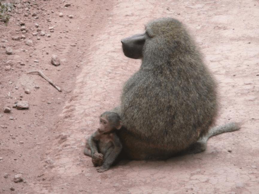 Julia Ember travel photos - baboons