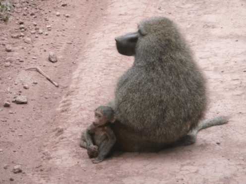 Julia Ember travel photos - baboons