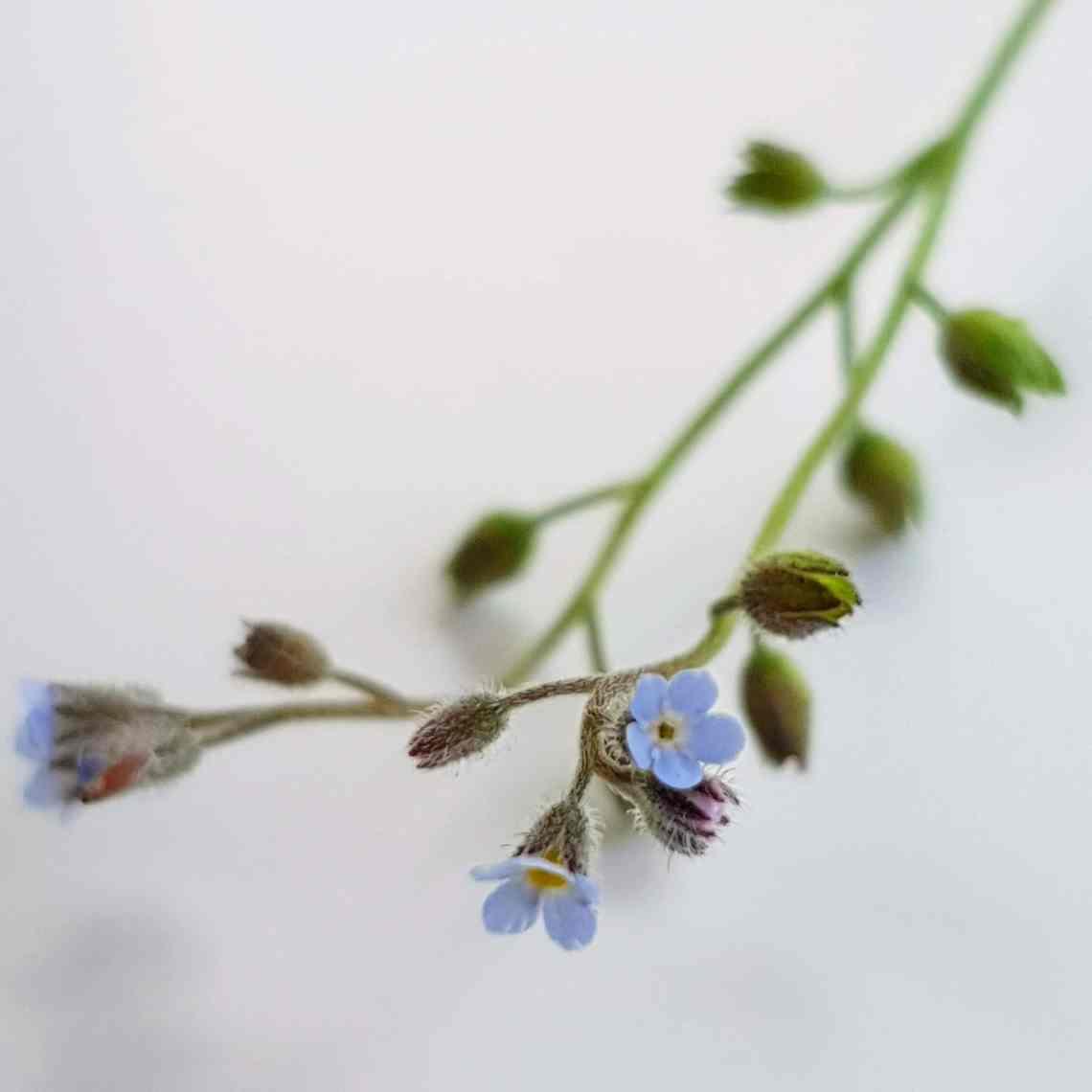 Forglemmigej – Fotograferet af Christel © danishthings.com. Spiselige blomster, stauder og urter – find de mange spiselige favoritter, 3 du skal spise med måde og et par giftige, som måske overrasker. Få inspiration til brug, tips, opskrifter med de forskellige blomster og find inspiration til årets gang på danishthings.com. #danishthings #blomster #spiselige #giftige #spis-med-måde #undgå #dekoration #spiselige-blomster #spiselige-stauder #det-salte-køkken #det-søde-køkken #urter #kagedekoration #mad