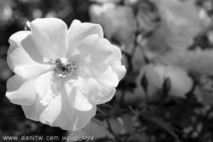 5034 שחור לבן, פרחים ועצים, זכרון יעקב, ישראל