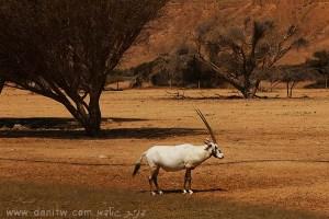 תמונות יפות למכירה צילום בעלי חיים, הערבה, ישראל 5253