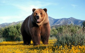 A photo of a grizzly bear