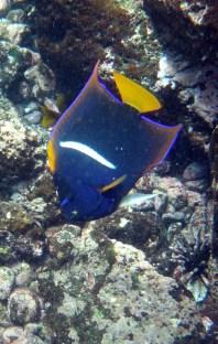 King Angelfish. (Photo by Benedicte)