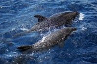Dolphins off the bow escort us to another island