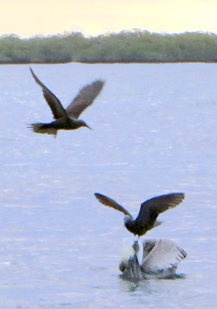 Brown noddy lands on pelican's head and steals its food