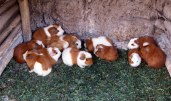 Guinea Pigs ready to be roasted