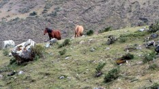 These horses are tough high altitude beasts of burden