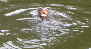 Surprised giant otter