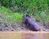 Tapir leaving river. Photo courtesy of fellow traveler Lance Frieburger