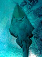 Sand Shark Overhead in Valencia Oceanarium