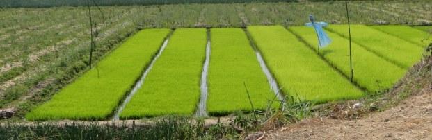 Rice nursery on rice farm near Chiang Mai