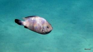 Fish, Bloo Bai, Bali