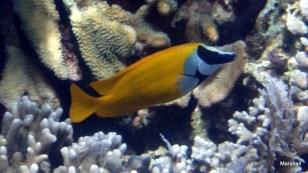 Morris Fish, Bunaken, Manado, Sulawaisi