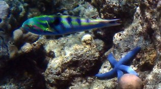 Parrot Fish and sea star