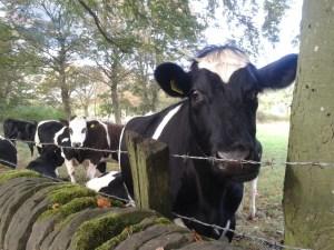 Moo cows.