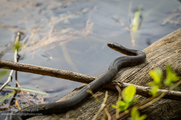 This Garter Snake was the most active we saw - yawn.