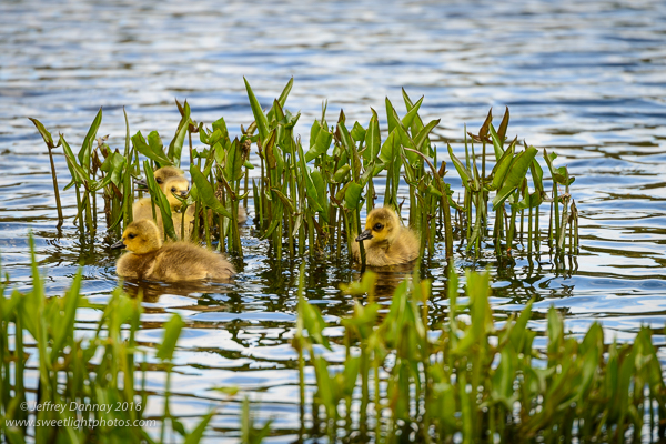 These goslings were left to play among the grasses.