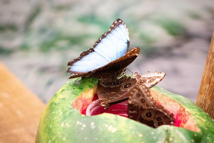 Blauer Schmetterling / Blue Butterfly - Tierprints / Animal Prints