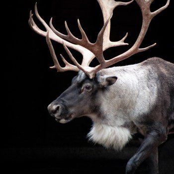 reindeer/rentier - Tierprints/animal prints