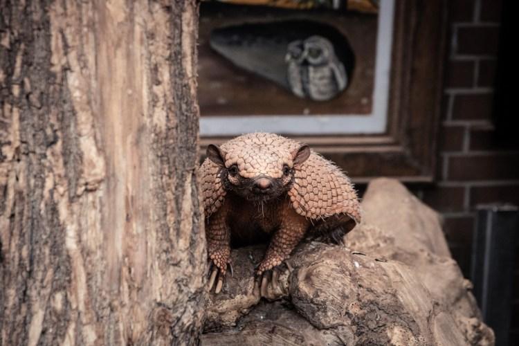 Gürteltier / Armadillo - Tierprints / Animal Prints