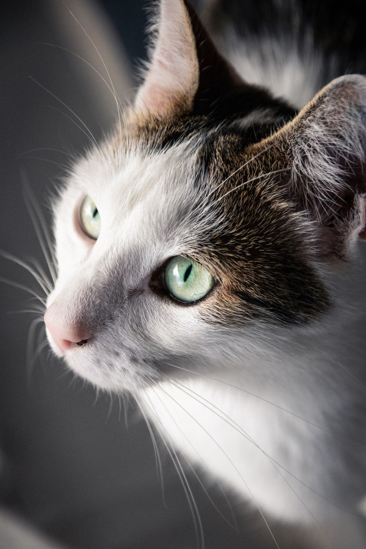Kater Bowie / Tomcat Bowie - Tierprints / Animal Prints