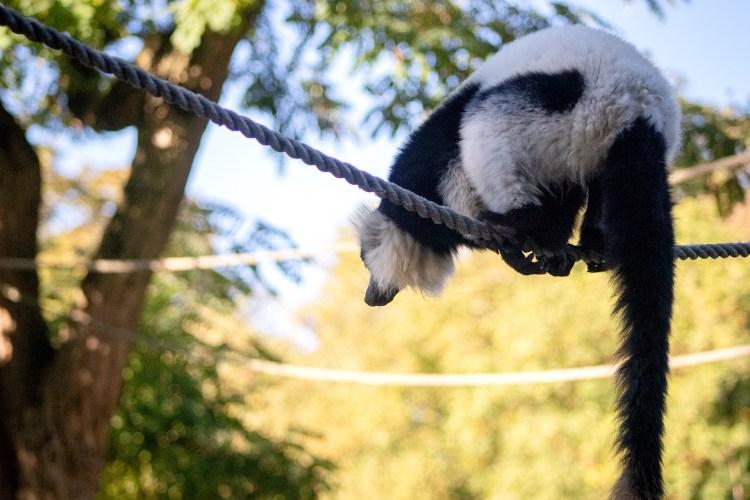 Lemur - Tierprints / Animal Prints