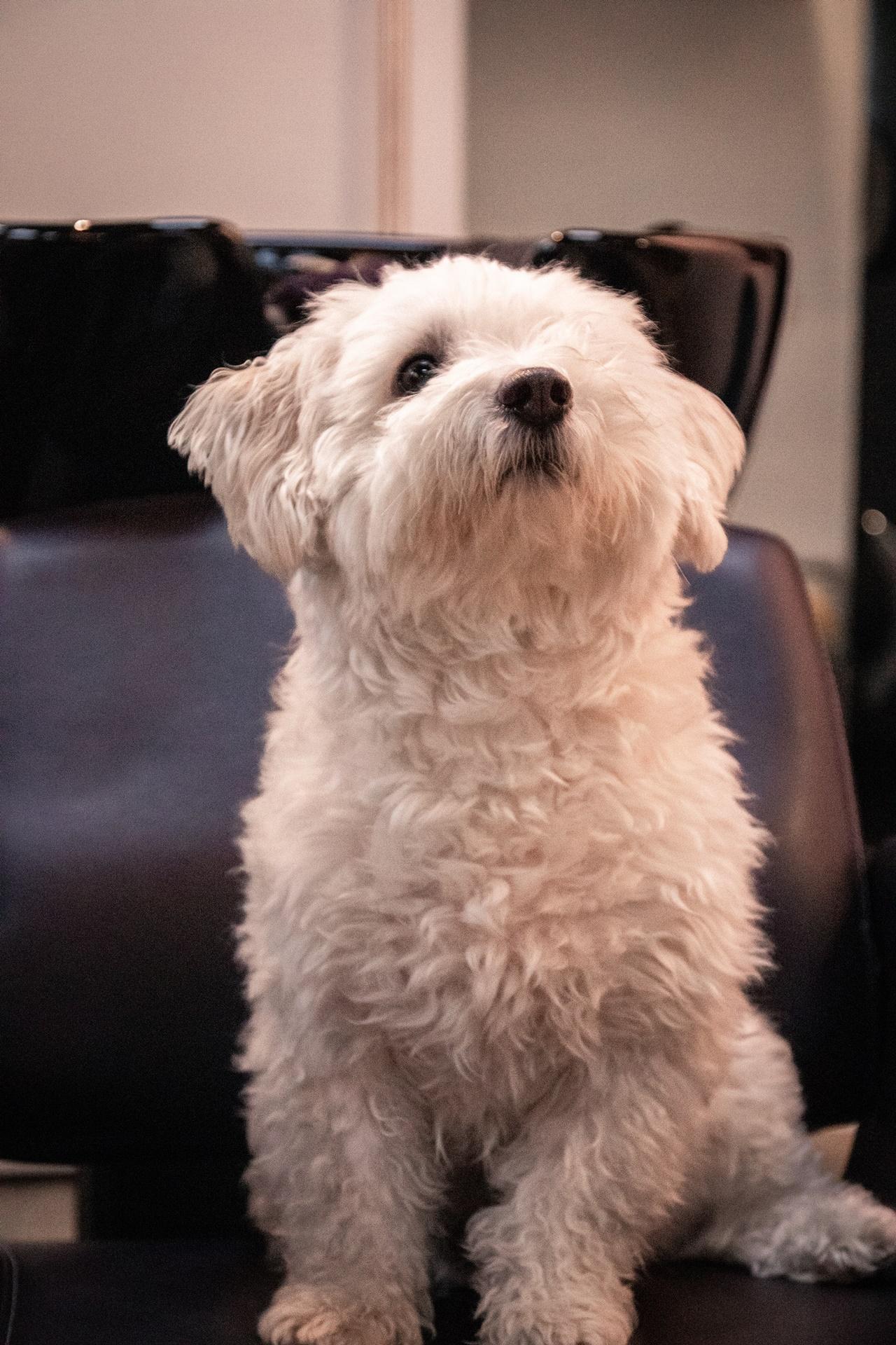 Malteser Hund Sitting