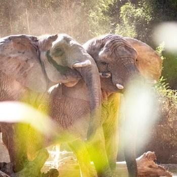 Afrikanische Elefanten / African Elephants - Tierprints / Animal Prints
