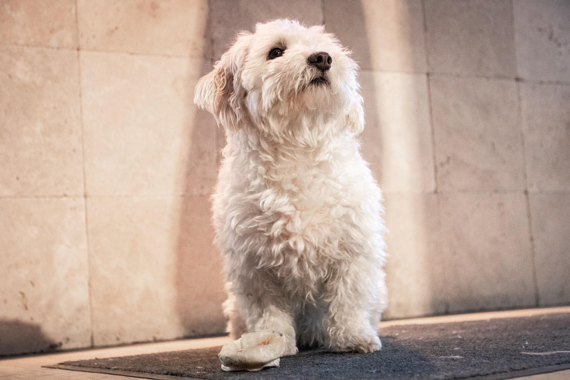 Malteser dog