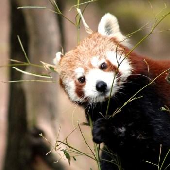 Roter Panda / Red Panda - Tierprints / Animal Prints